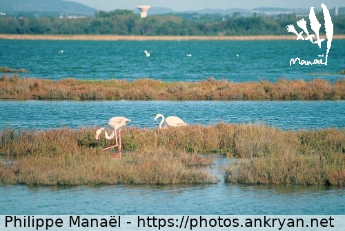 Flamants roses, étang de Pérols (France / Trekking / Au long du Golfe d'Aigues-Mortes)
